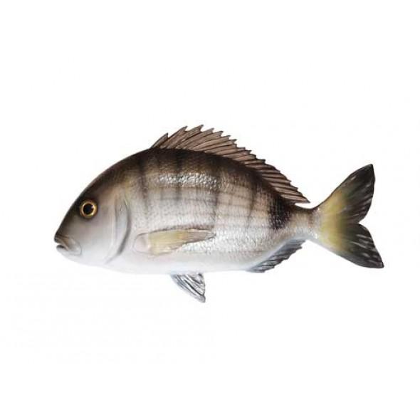 Imitazione Pesce Sarago In Fiberglass 40 Centimetri Per Arredamento